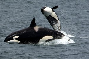 See Orca Whales in the Wild